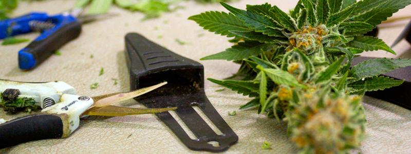Стрижка марихуаны
