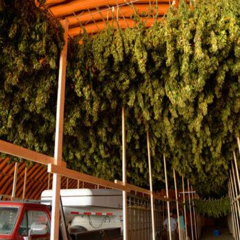 Сушка марихуаны в промышленных масштабах