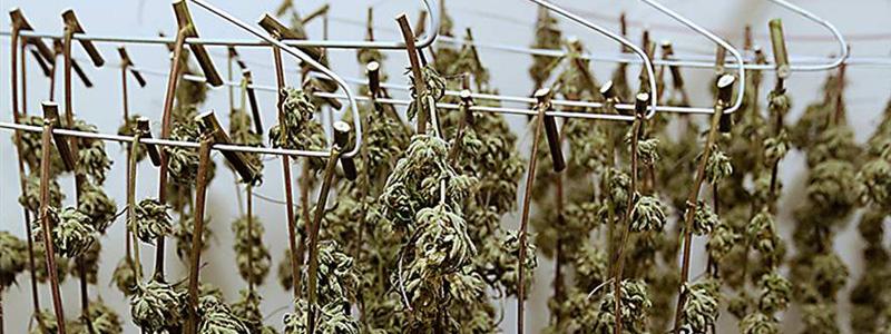 Как сушить марихуану видео википедия марихуаны