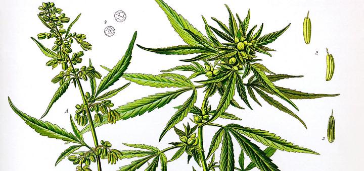 Разница между коноплей и марихуаной крупный марихуана