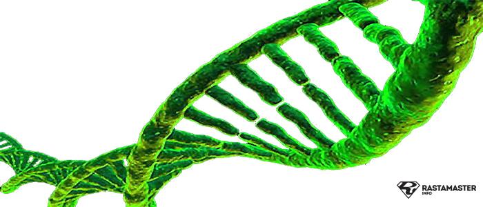 Генетика каннабиса
