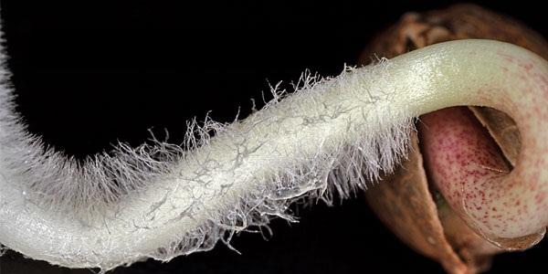 Пророщенное семя марихуаны и молодой (стержневой) корешок