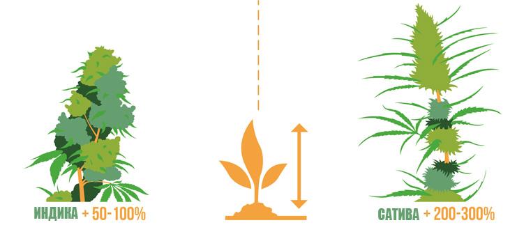 Разница в наборе роста на цветении между сортами марихуаны