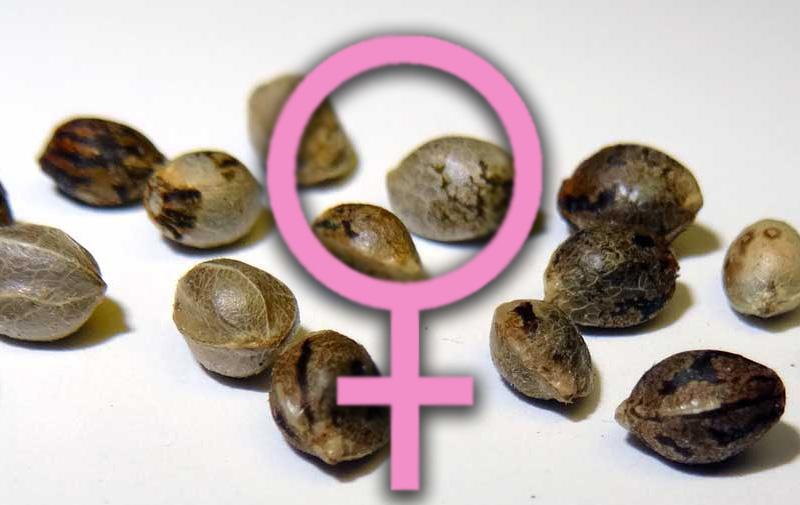 Могут ли запретить семена марихуаны кот в конопле