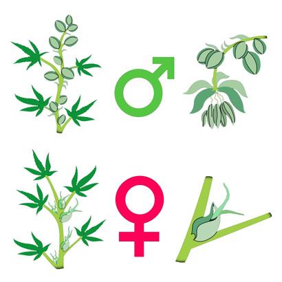 Разница между мужской и женской особью конопли