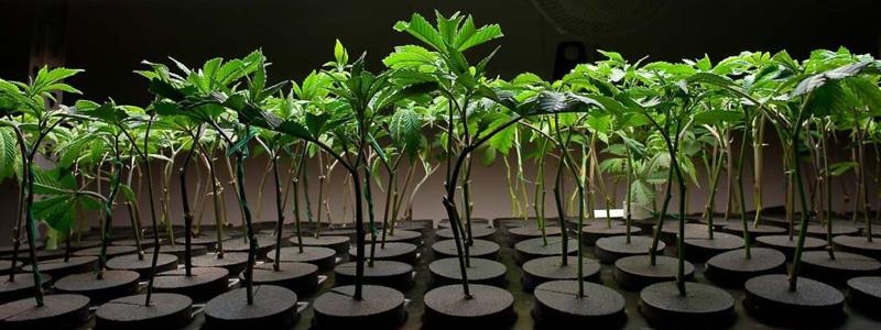 Здоровые клоны марихуаны