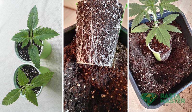 Сколько по времени прорастают семена марихуаны лактация конопля