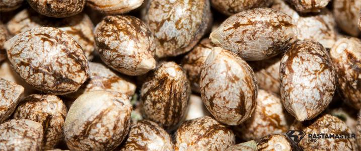 Нюансы и тонкости при выборе семян марихуаны