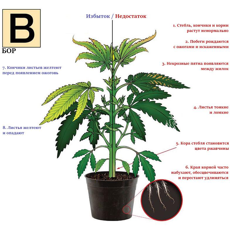 Дефицит и избыток бора в марихуане