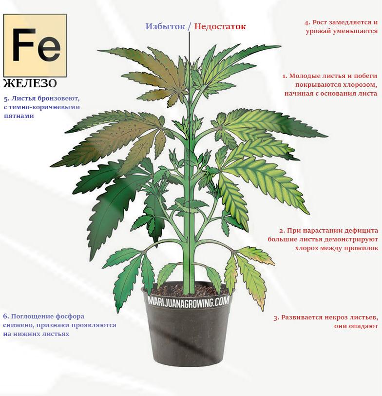 Дефицит и избыток железа в марихуане