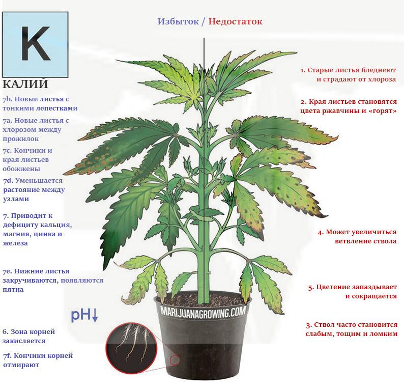 Дефицит и избыток калия в марихуане