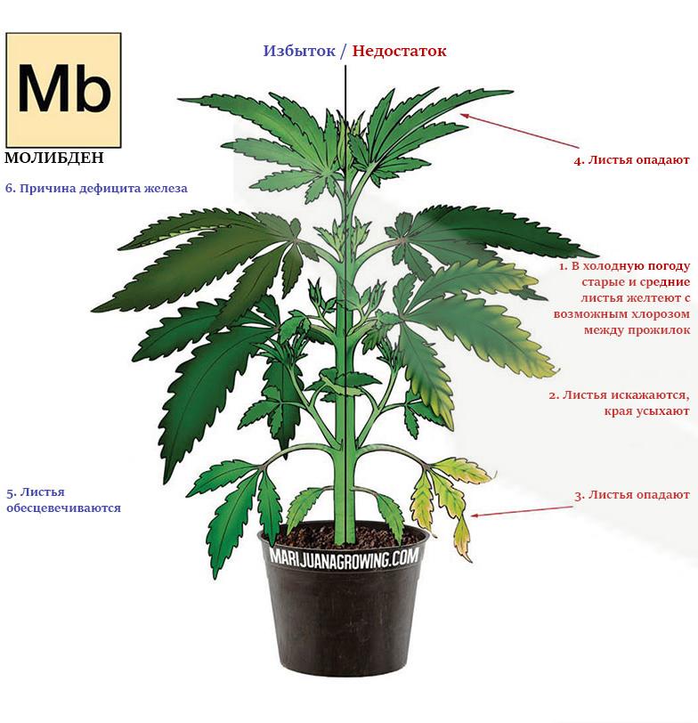 Дефицит и избыток молибдена в марихуане