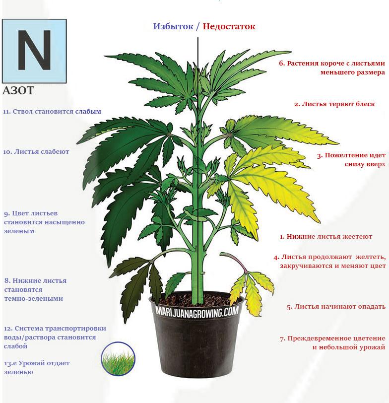 Дефицит и избыток азота в марихуане