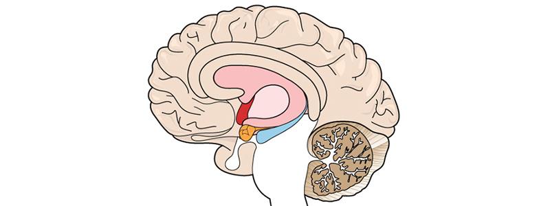 КБД. Диаграмма воздействия на мозг