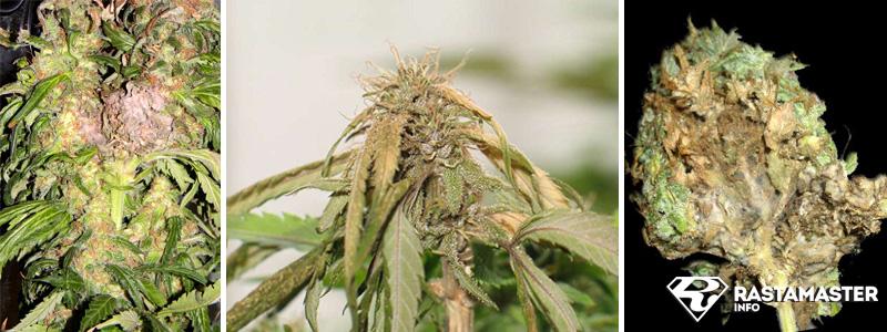 Плесень на растении марихуаны