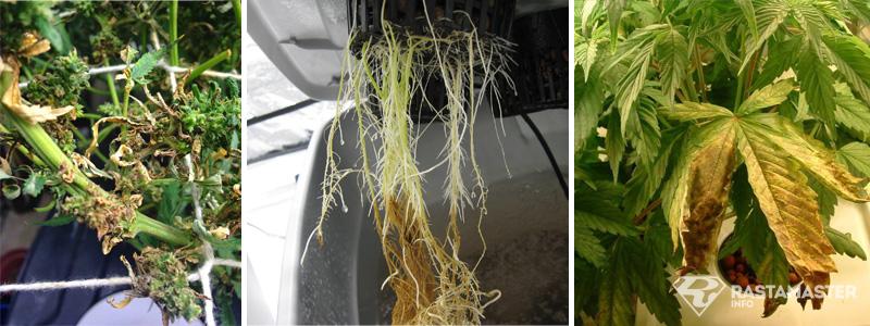 Корневая гниль растения марихуаны
