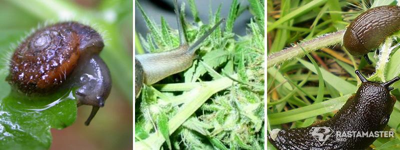 Слизни и улитки на марихуане