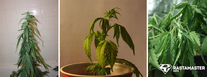 Недостаточный полив (недолив) марихуаны