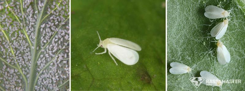 Белокрылка на растении каннабиса