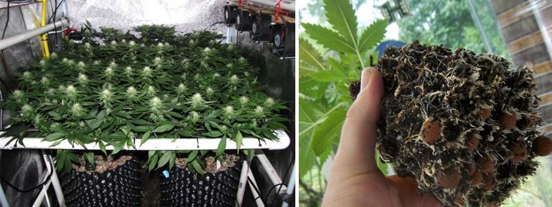 Здоровая корневая система растения марихуаны в горшке air-pot