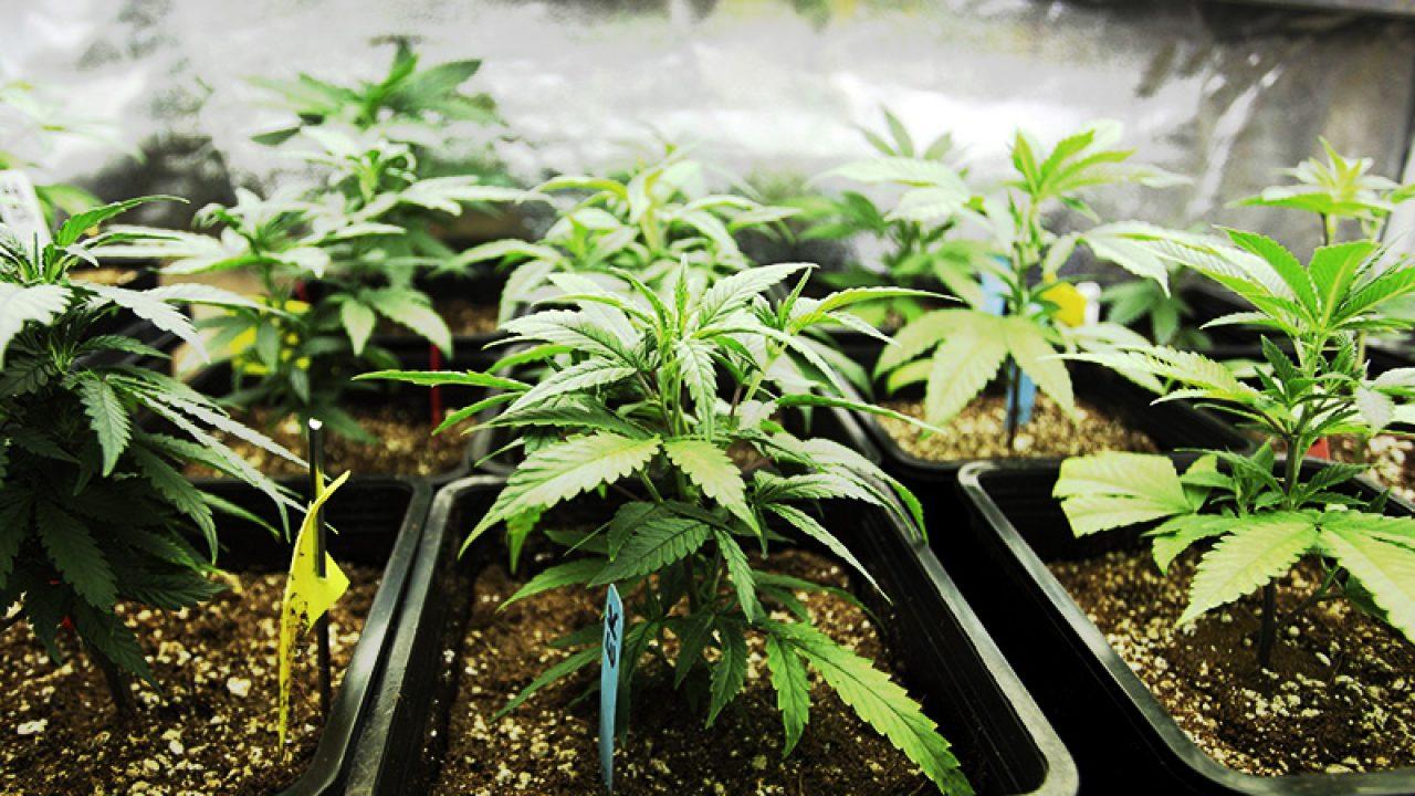 Почва для посадки конопли кокаин марихуана