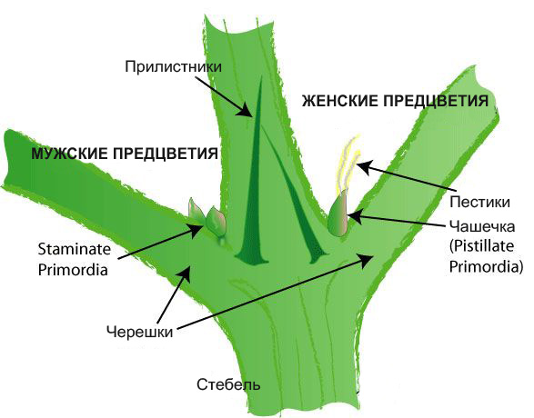 Что такое самец конопли обои листья конопли