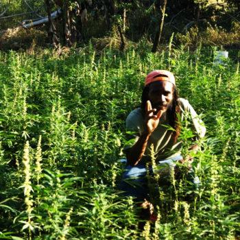 Выращивание конопли на открытом воздухе