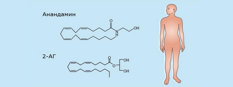 Что такое эндоканнабиноиды?