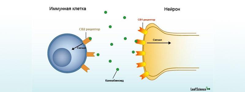 Что такое каннабиноидные рецепоры?