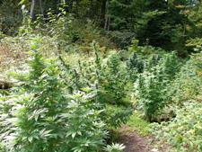 При беглом взгляде марихуану не отличишь от крапивы