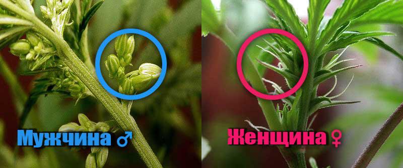 Как определить пустоцвет у конопли курение конопли как лекарство