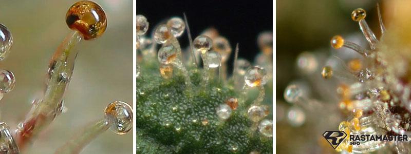 Янтарные трихомы на марихуане - явный признак полного созревания растения