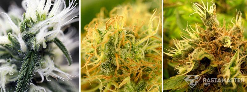 пестики марихуаны