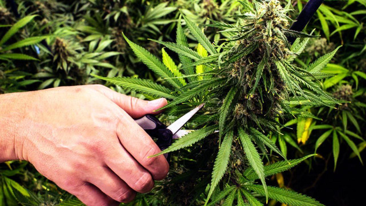 Дозревание конопли сколько по времени марихуана выводится из организма