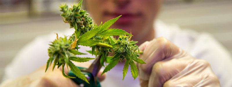 влажная стрижка шишек марихуаны