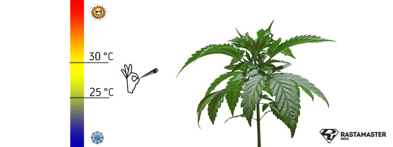 Идеальная температура для стадии роста марихуаны 25-30 градусов цельсия