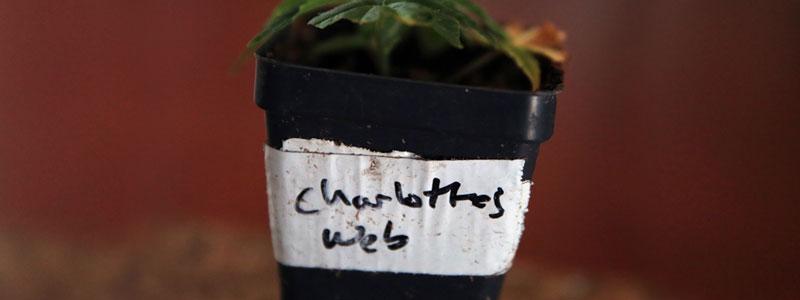 Саженец сорта Charlottes web с большим содержанием КБД