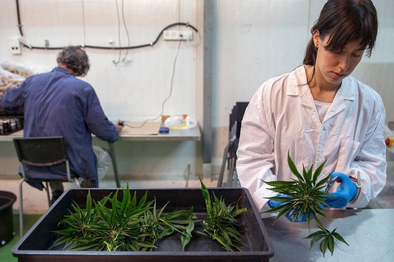 Израильтяне работают на производстве каннабиса