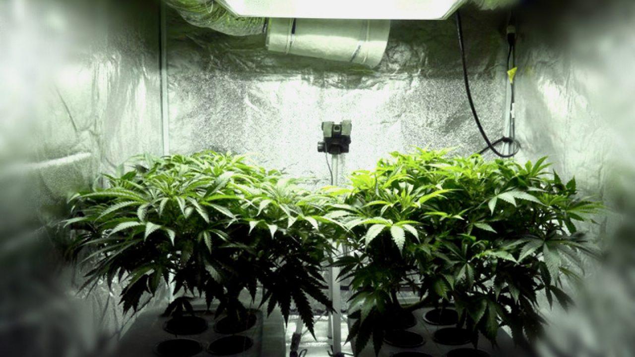 Простое выращивание конопли на дому посадить семена конопляные