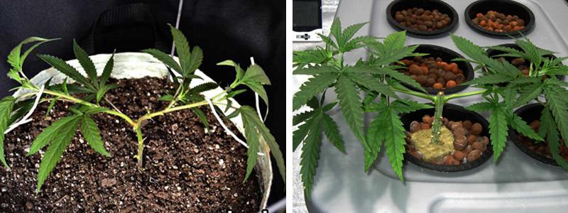 мейнлининг каннабиса - растения готовы к следующему этапу обрезки (топпинга)