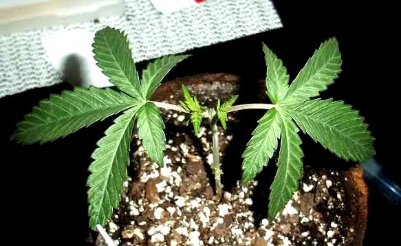 растение каннабиса подверглось топпингу