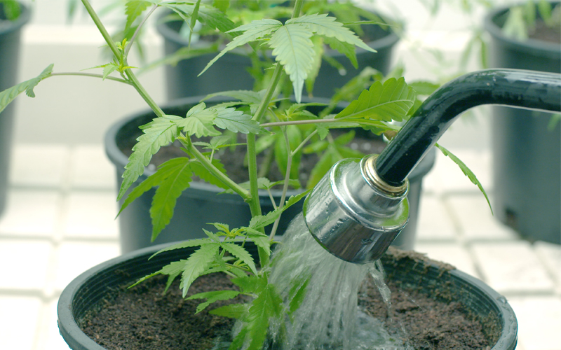 Cannabis_watering