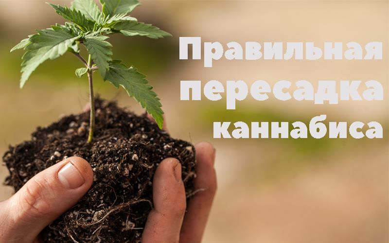 cannabis transplantation